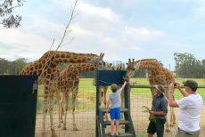 mogo zoo giraffe feeding